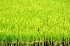 zielone polowe ryżu Fotografia Stock