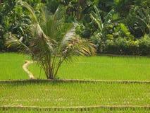 zielone polowe ryżu Zdjęcia Stock