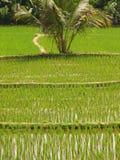 zielone polowe ryżu Obrazy Stock