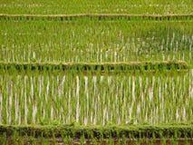 zielone polowe ryżu Fotografia Royalty Free