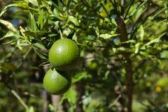 Zielone pomarańcze na drzewie obrazy stock