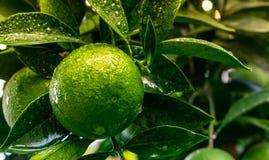 Zielone Pomarańczowe owocowe wiszące drzewne świeżych wod krople Zakończenie Zielona Pomarańczowa owoc na drzewie zdjęcia royalty free