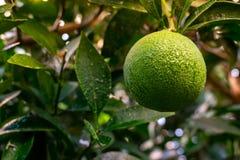 Zielone Pomarańczowe owocowe wiszące drzewne świeżych wod krople Zakończenie Zielona Pomarańczowa owoc na drzewie zdjęcie royalty free
