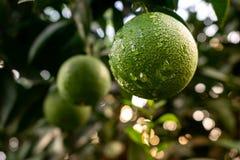 Zielone Pomarańczowe owocowe wiszące drzewne świeżych wod krople Zakończenie Zielona Pomarańczowa owoc na drzewie obrazy royalty free
