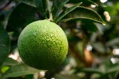 Zielone Pomarańczowe owocowe wiszące drzewne świeżych wod krople Zakończenie Zielona Pomarańczowa owoc na drzewie fotografia stock