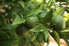 zielone pomarańcze Zdjęcia Royalty Free