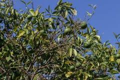 Zielone pomarańcze na drzewie Obrazy Royalty Free