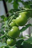 zielone pomidory Zdjęcia Royalty Free
