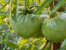 zielone pomidory Fotografia Royalty Free
