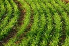 Zielone pszeniczne rozsady Obraz Stock