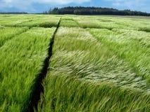 zielone pszeniczni polowe young fotografia stock