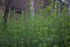Zielone rośliny cienieją narastający prostego Obraz Royalty Free