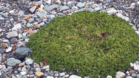 Zielone rośliny na kamień ziemi Arktyczny w Svalbard zbiory wideo