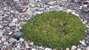 Zielone rośliny na kamień ziemi Arktyczny w Svalbard zbiory