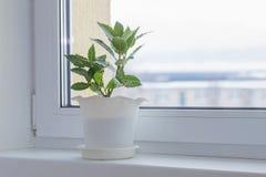 Zielone rośliny na windowsill w zimie fotografia royalty free