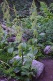 Zielone rośliny Pacyficzny północny zachód Fotografia Stock
