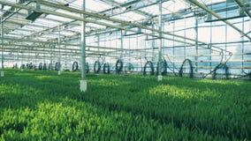 Zielone rośliny r w rzędach wśrodku dużej szklarni zbiory