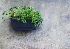Zielone rośliny w plastikowym jardiniere na popielatej ścianie jako dekoracja w Iseo miasteczku zdjęcie stock