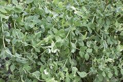 Zielone rośliny Obraz Royalty Free