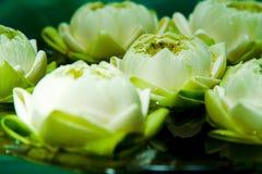 zielone rośliny lotosowe azji Obrazy Royalty Free