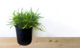 Zielone rośliny w flowerpots Zdjęcie Stock