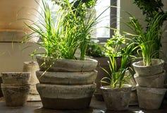 Zielone rośliny w starych glinianych garnkach Zdjęcia Royalty Free