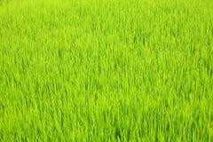 zielone ryżu Obrazy Royalty Free