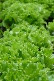 Zielone sałat rośliny r w ogródzie Zdjęcia Royalty Free