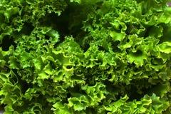 Zielone sałat rośliny zamknięte w górę zdjęcia stock