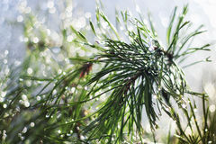 zielone sosen gałąź zakrywać z błyszczącymi kroplami Zdjęcia Royalty Free