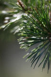 zielone sosny gałąź Zdjęcie Stock