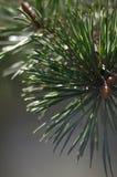 zielone sosny gałąź Obraz Stock