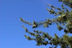 zielone sosny gałąź Zdjęcie Royalty Free