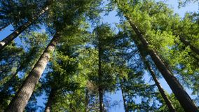 Zielone sosny przeciw niebieskiemu niebu spod spodu Obraz Royalty Free