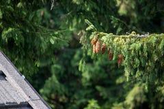 Zielone sosny z rożkami w pięknym lasowym pobliskim budynku Sosen otrębiaści ches z rożkami Święta tła zielone drzewa zdjęcia stock