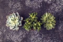 Zielone sukulent rośliny na ciemnym tle Zdjęcie Stock