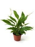 zielone szczęścia rośliny s spatifillum kobiety Fotografia Royalty Free