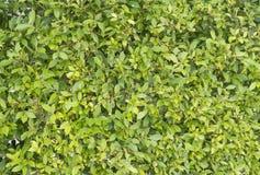zielone tło rośliny Obraz Stock