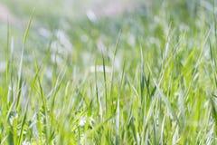 zielone trawy konsystencja Obraz Royalty Free