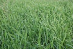 zielone trawy konsystencja Fotografia Stock