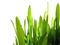 zielone trawy white Fotografia Stock