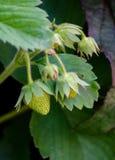 Zielone truskawki na winogradzie Zdjęcia Stock