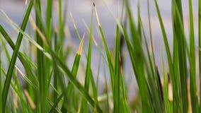 Zielone turzycy, płochy i trawy kiwanie w wiatrze na jeziorze, zdjęcie wideo