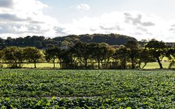 Zielone uprawy zdjęcie royalty free
