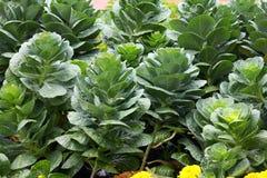zielone warzywo Obraz Royalty Free