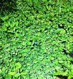 Zielone Wodne algi obraz stock