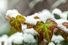 Zielonego arywista liany bluszcza krzaka drzewna roślina zakrywająca z śniegiem w zima sezonie zamkniętym w górę selekcyjnej ostr obrazy stock