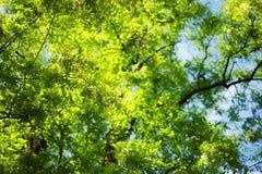 Zielonego bokeh ulistnienia naturalny tło Zdjęcia Stock