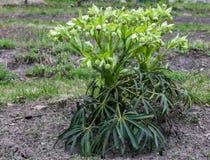 Zielonego ciemiernika kwiaty w wiosna ogródzie zdjęcia stock