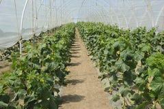 zielonego domu warzywa Zdjęcia Stock